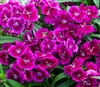 Dianthus IQ Purple