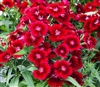 Dianthus IQ Red