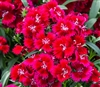 Dianthus IQ Red Picotee