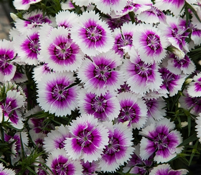 Dianthus IQ Purple Ice