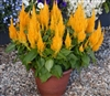 Celosia Bright Sparks Yellow