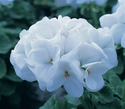 Geranium Horizon White Coated