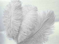 12 Fabulous Ostrich Feathers - White