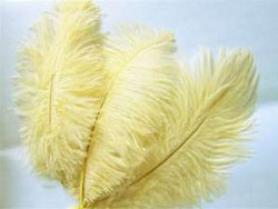 12 Fabulous Ostrich Feathers - Ivory