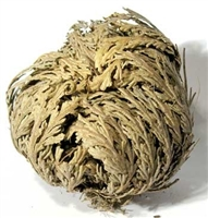 Jericho Flower, Resurrection Flower, Rose of Jericho