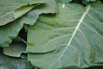 Collards - 1 bunch
