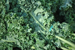 Kale, Green, Siberian - 1 bunch