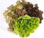 Mixed Head Lettuce ~ 1 bunch