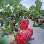 Winter Solar Tunnel Strawberries - 1lb