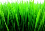 Wheatgrass Microgreens ~ 2 oz bag