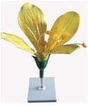 Model of the cole Flower