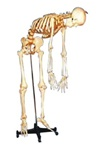 168cm Tall Adult Male, Clear Cartilage, Flexible Spine, Skeleton w/ Removable Iron Stand and Arm/Foot, 3 Teeth Dissectible