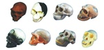 Differentiatim Compare Of Race Skull