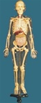85cm Tall, Adult, Transparent Skeleton Model, w/ Visible and Dissectible Inner Organs, w/ Iron Std