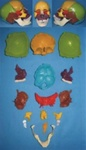 Human Skull Assemblage and Separable Model  (16pcs)