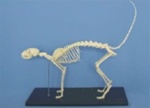 Cat Skeleton Model w/ Plastic Stand