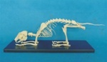 Rabbit Skeleton Model w/ Plastic Stand