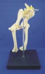 Dog  Lumbar Vertebrae, Hip Joint and  Femur  Bone Model w/ Plastic Stand