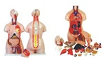 85cm Unisex Torso, Dissectible 23 Parts