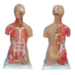 85cm Tall, Unisex, Half Skin & Half Muscle Human Torso Model, W/Head and Back Dissection Asia-Style