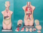 85cm Tall Sexless Torso Model, Dissectible 11 parts