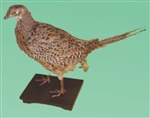 PHEASANT, FEMALE