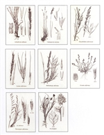 Notecards, Grasses of California, The Grass Manual