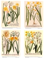 Notecards, Rare Book Print Set - Daffodils