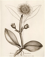 Rare Book Print, Mountain Arnica or Leopard's Bane (Arnica montana L.) (Size: 13 x 19)