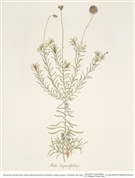 Rare Book Print, Aster (Gymnaster angustifolius) (Size: 13 x 19)