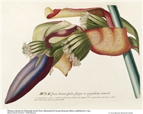 Rare Book Print, Banana, fertile stalk with shorter fruits and blue spathe (Size: 8 x 10)