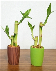 Two bamboo stalks in round ceramic vase with personalized gift tag