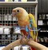 Green Cheek Conure - Sun Cheek