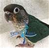 Green Cheek Conure - Turquoise Yellow-Side