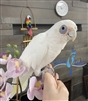 Bare Eyed Cockatoo - Female