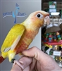 Green Cheek Conure - Suncheek - Male