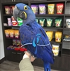 Hyacinth Macaw - Male