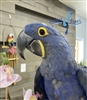 Hyacinth Macaw - Female
