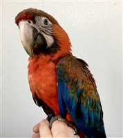 Camelot Macaw - Female