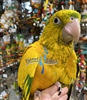 Golden Conure - Queen of Bavaria - Female