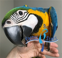 Blue and Gold Macaw - Male