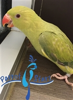 Indian Ringneck Parakeet - Green Buttercup - Female