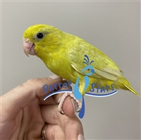 Parrotlet - Yellow - Female