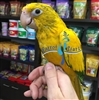Golden Conure - Queen of Bavaria