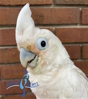 Goffin Cockatoo - Female