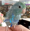Parrotlet - Blue - Female