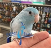 Parrotlet  -  Blue Pied - Female