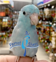 Parrotlet - Blue - Male