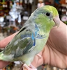 Parrotlet - Turquoise Pied - Female
