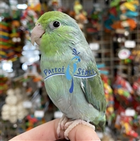Parrotlet - Turquoise - Female